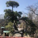 上野公園の月の松